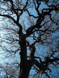 反对日落的橡树 免版税图库摄影