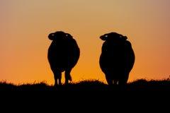 反对日落颜色的两头母牛 免版税库存图片