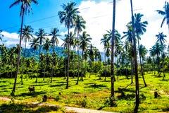 反对明亮的蓝天的棕榈树丛 El Nido巴拉望岛菲律宾 免版税库存照片