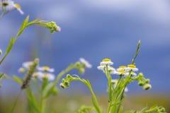 反对明亮的蓝天的领域春黄菊 图库摄影
