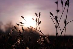 反对朝阳的草尖刻的植物的剪影在雾 免版税图库摄影