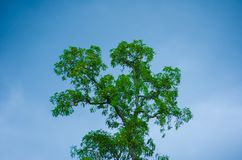 反对朦胧的蓝天的绿色树上面 免版税库存图片