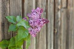 反对木背景的淡紫色分支 库存照片