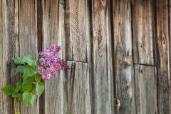 反对木背景的淡紫色分支 免版税库存照片