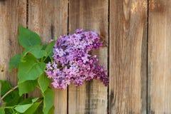 反对木背景的淡紫色分支 免版税库存图片