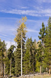 反对杉木的孤立白杨木 免版税库存照片
