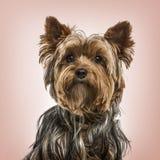 反对桃红色背景的约克夏狗画象 免版税库存图片
