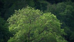 反对森林背景的树在风 股票录像