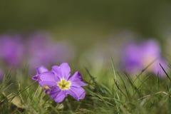 反对模糊的背景的桃红色和紫色promose 库存图片