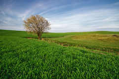 反对波浪起伏的领域的狂放的树 库存图片