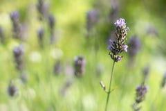 反对浅绿色的被弄脏的背景,浅DOF背景的一朵轻轻地紫色淡紫色花与灌木的 库存图片
