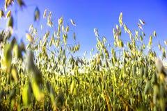 反对海和天空,领域,秋天草,燕麦背景的草  免版税图库摄影