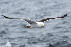 反对海的孤独的海鸥讨厌的天气的 库存照片