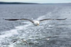 反对海的孤独的海鸥讨厌的天气的 免版税库存图片