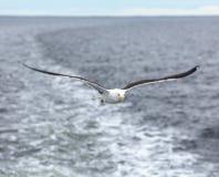 反对海的孤独的海鸥讨厌的天气的 库存图片