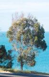 反对海洋的产树胶之树 库存照片