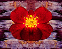 反对淡紫色难看的东西背景的剧烈的红色玫瑰 免版税库存照片