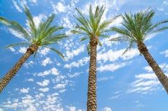 反对深蓝天的三个枣椰子 免版税图库摄影