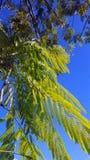 反对深蓝天的含羞草叶子 免版税图库摄影