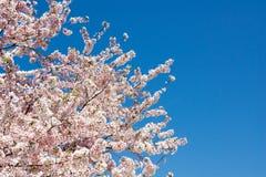 反对深蓝天II的樱花特写镜头 免版税库存图片