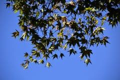 反对清楚的天空的槭树叶子 库存照片