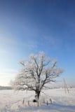 反对清楚的蓝天的孤独的被雪包围住的橡木 免版税库存图片