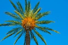 反对清楚的蓝天的枣椰子由金黄太阳光芒,低角度射击,背景,墙纸点燃了 库存照片