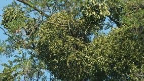 反对清楚的蓝天的树 股票录像