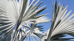 反对清楚的蓝天的蓝色plam叶子 免版税库存照片