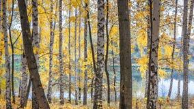 反对湖的桦树树丛在晴朗的秋天天 图库摄影