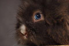 反对灰色演播室背景的狮子顶头兔子兔宝宝 库存图片