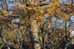 反对特写镜头树背景的落叶松属分支  库存照片