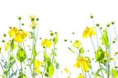 反对白色天空copyspace的抽象黄色coneflowers 库存照片