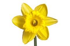 反对白色的黄色水仙绽放 免版税图库摄影