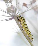 反对白色的黑Swallowtail毛虫 免版税库存图片
