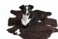 反对白色背景的严肃的小的爱犬 免版税库存图片