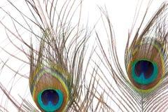 二根孔雀羽毛 免版税图库摄影
