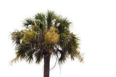 反对白色背景的开花的矮棕榈条树 库存照片