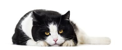 反对白色背景的混杂的品种猫画象 免版税图库摄影