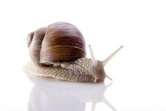 反对白色背景的蜗牛 免版税库存图片