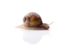 反对白色背景的蜗牛 库存照片