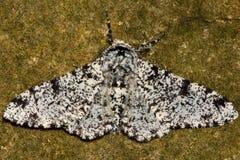 反对石头的以子弹密击的飞蛾(Biston betularia)光形式 免版税库存照片