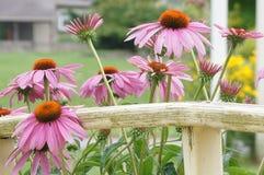 反对篱芭的开花的coneflowers 免版税图库摄影