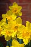 反对红砖墙壁背景的黄水仙群 库存图片