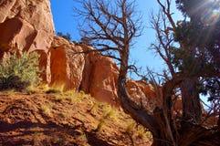 反对红色岩石虚张声势的Sunlite死的树 免版税库存图片