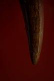反对红色背景的恐龙牙 免版税库存图片
