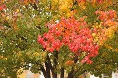 反对绿色树的一个明亮的红色分支作为叶子开始在秋天转动 库存照片