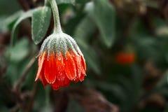 反对绿色背景的一朵明亮的橙色金盏草花用树冰在冬天初,特写镜头盖 免版税库存照片