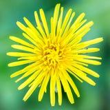 反对绿色背景的一朵黄色花 库存图片