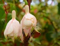 反对绿色自然本底的两朵白色Hawkshead紫红色的花 免版税库存照片